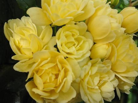 バラと言っても色々な咲き方があるものだ