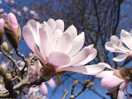 Magnolia stellata(シデコブシ)