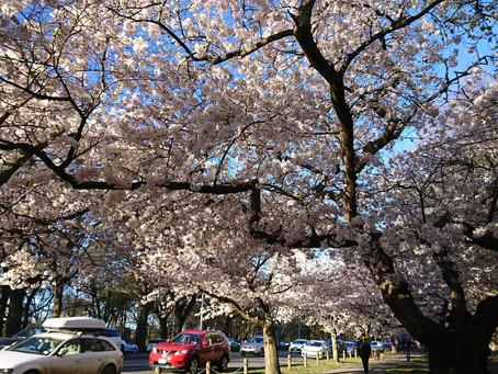 ハグレー公園の桜並木が見ごろになっています
