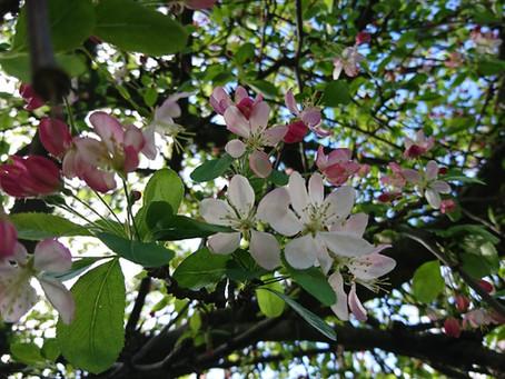 桜に負けない花木、日本生まれなのに日本での知名度は