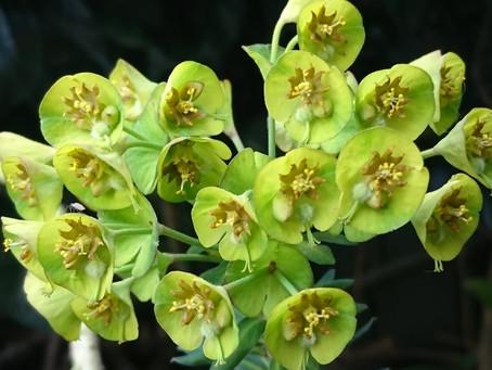 Euphorbia(トウダイグサ)