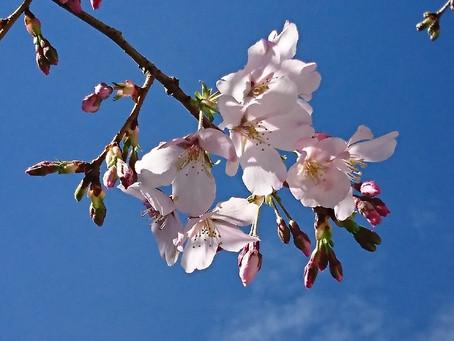 桜が咲き出しました