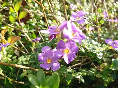 Bacopa(バコパ)冬に元気な花