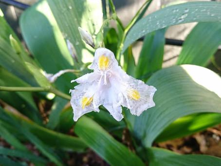 Bamboo Iris (竹アイリス)