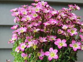 Saxifraga(ユキノシタ属)