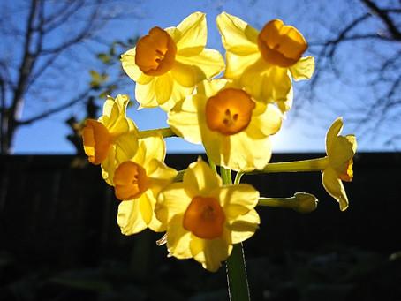 Daffodil(スイセン)