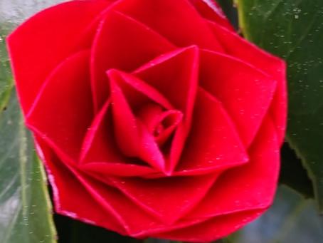 Camellia(椿)