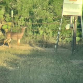 deer3.jpeg