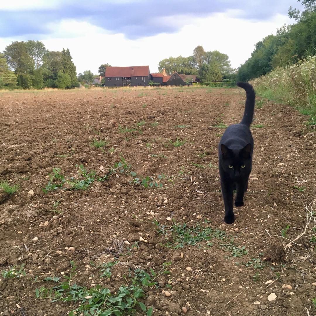 Borage in the fields
