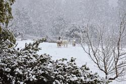 Snowpacas