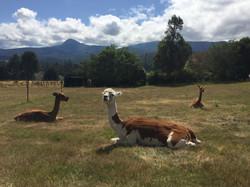 Alpacas Relaxing