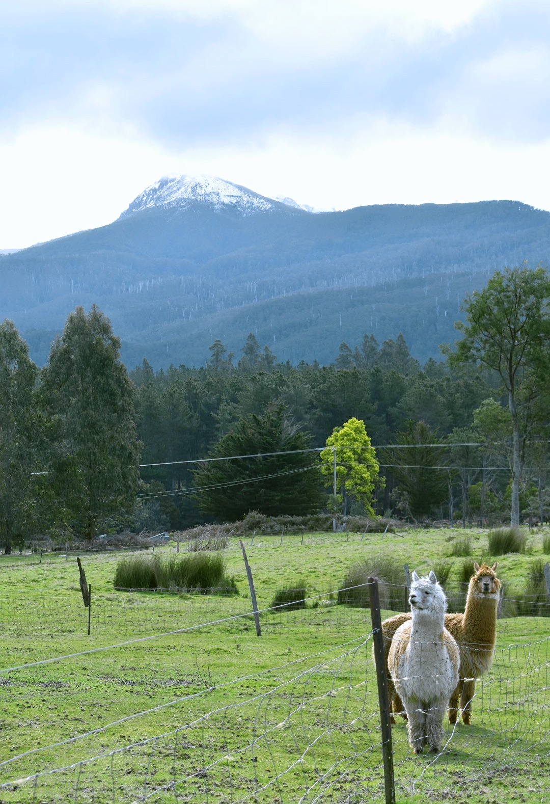 Alpacas & Snow Covered Mountains