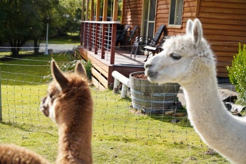 Alpacas Watching the World Pass By.  📷 Persia Shakari www.instagram.com/wanderingandalwayslost
