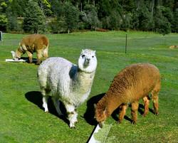 Woolley Alpacas
