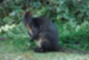 Wallaby & Pademelon_edited.jpg