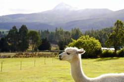 Alpaca Life - Contemplating the World. 📷 Persia Shakari www.instagram.com/wanderingandalwayslost