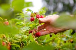 Westerway Raspberry Farm