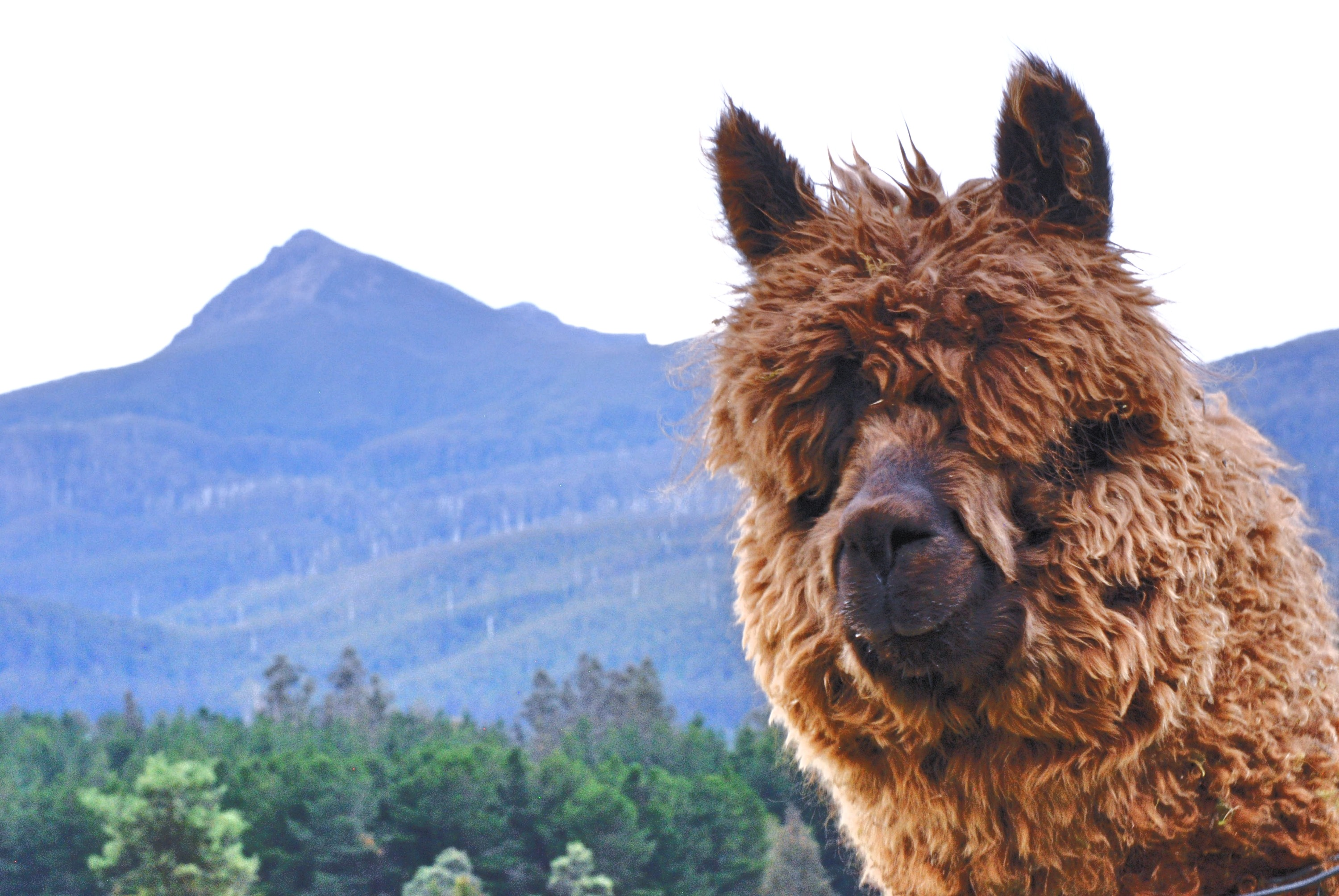 Alpacas & Mountain Views