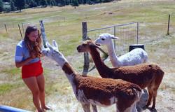 Curious Alpacas