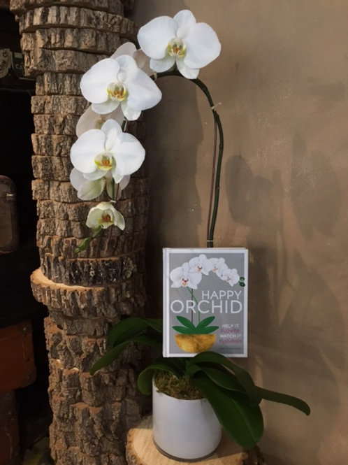 Cascading Phalaenopsis Orchid with Happy Orchid Book