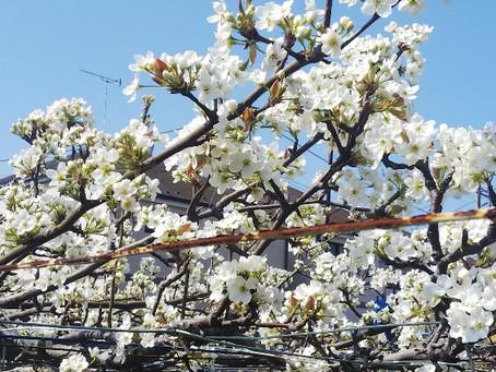 梨の花の見学中止