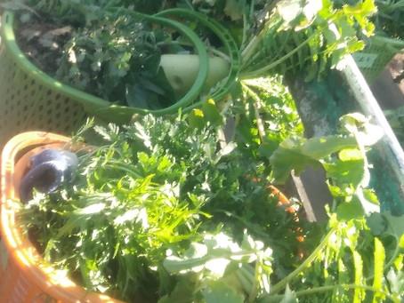2020 1/19 すいとん作り冬野菜収穫体験イベントありがとうございました。