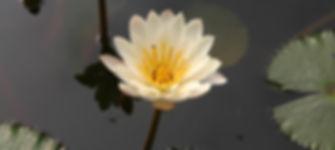 Lotus_MountainLightAshtanga.JPG