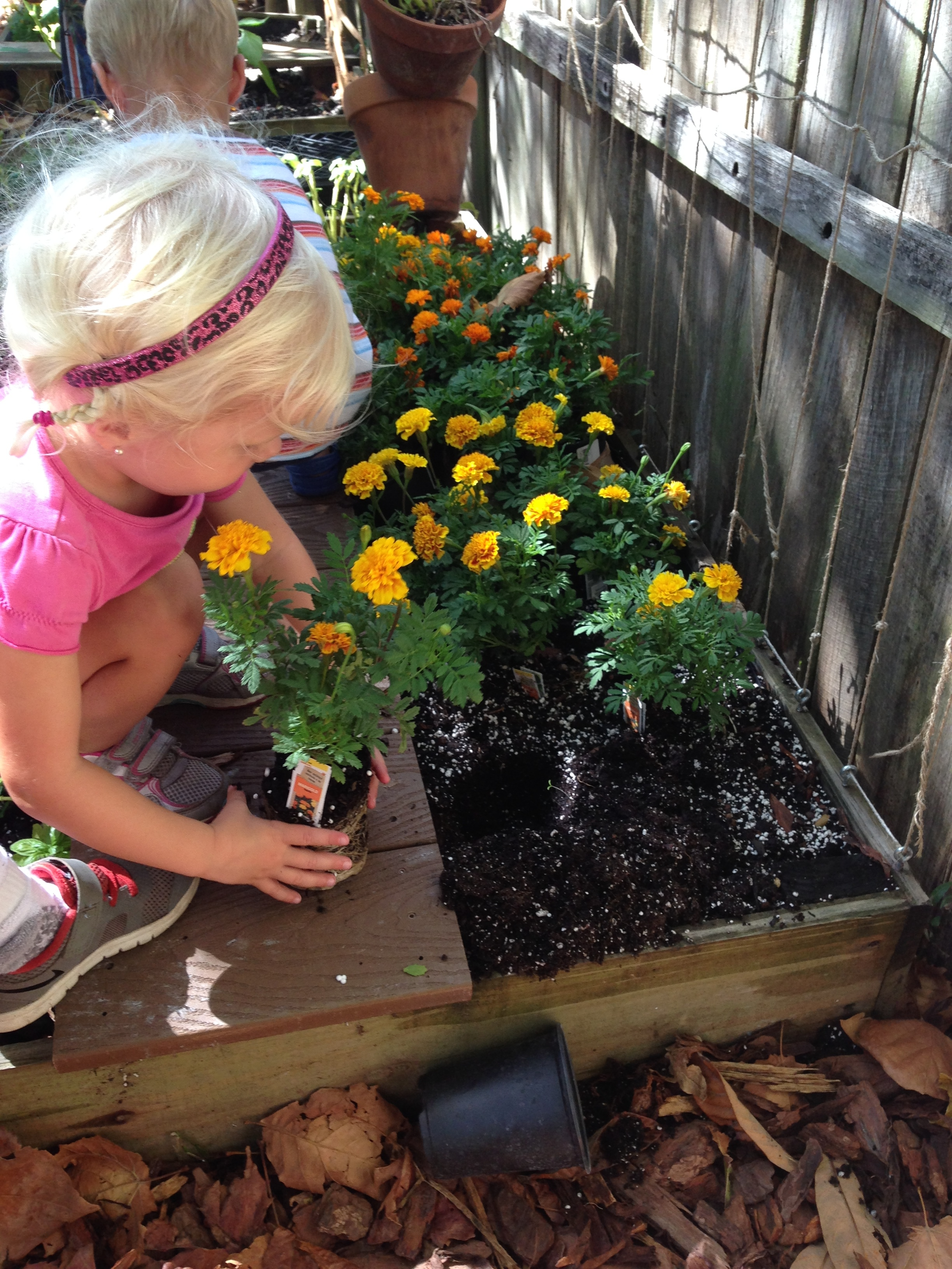 Picking marigolds to make cape dye