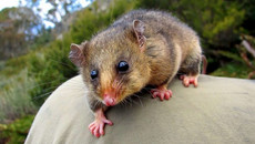 The Mountain Pygmy Possum in the Victorian Alps