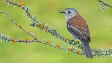 Grey Shrike-Thrush... another cool bird in the High Country along the Mitta