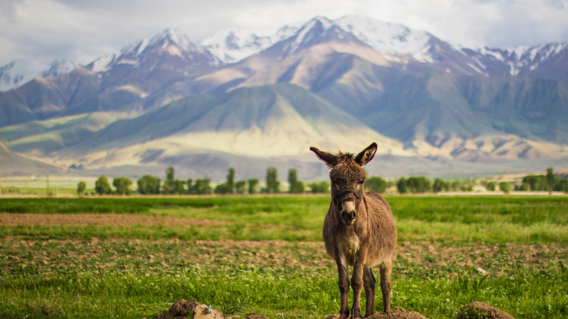 kirgizstan-donkey.jpg