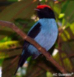 Male blue manakin