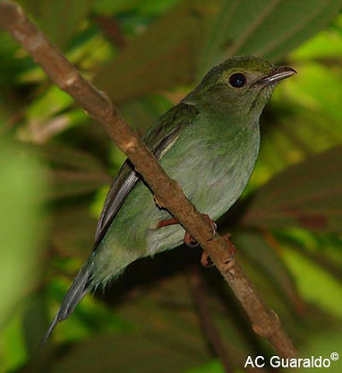 Female blue manakin