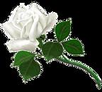 rose_left.png
