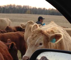 Tabler Family Cattle