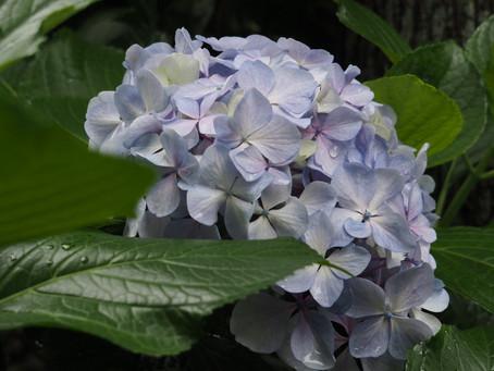 紫陽花が見頃を迎えています