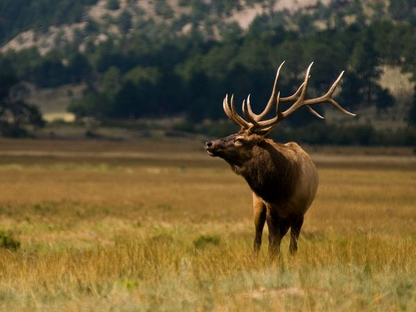 bull-elk-in-tall-grass