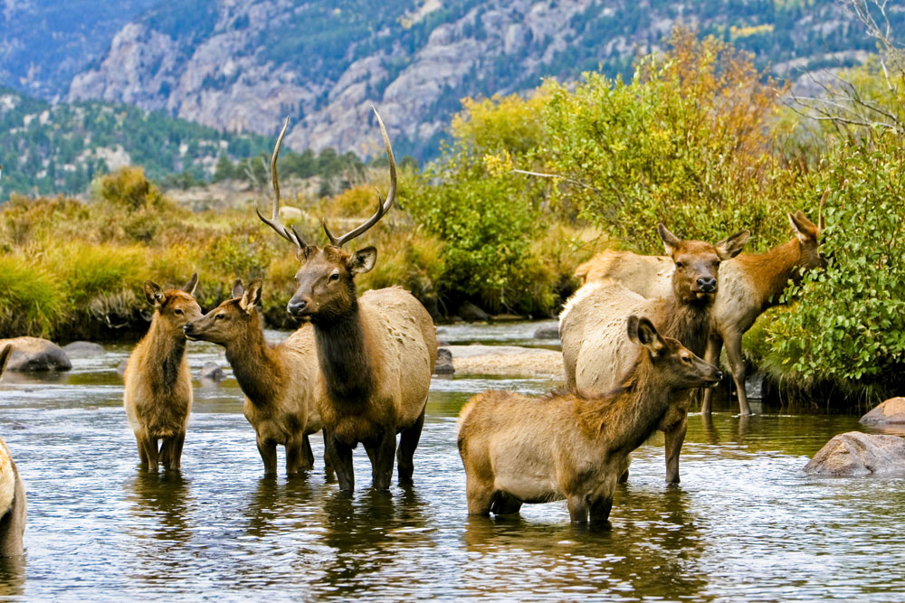Elk in Water