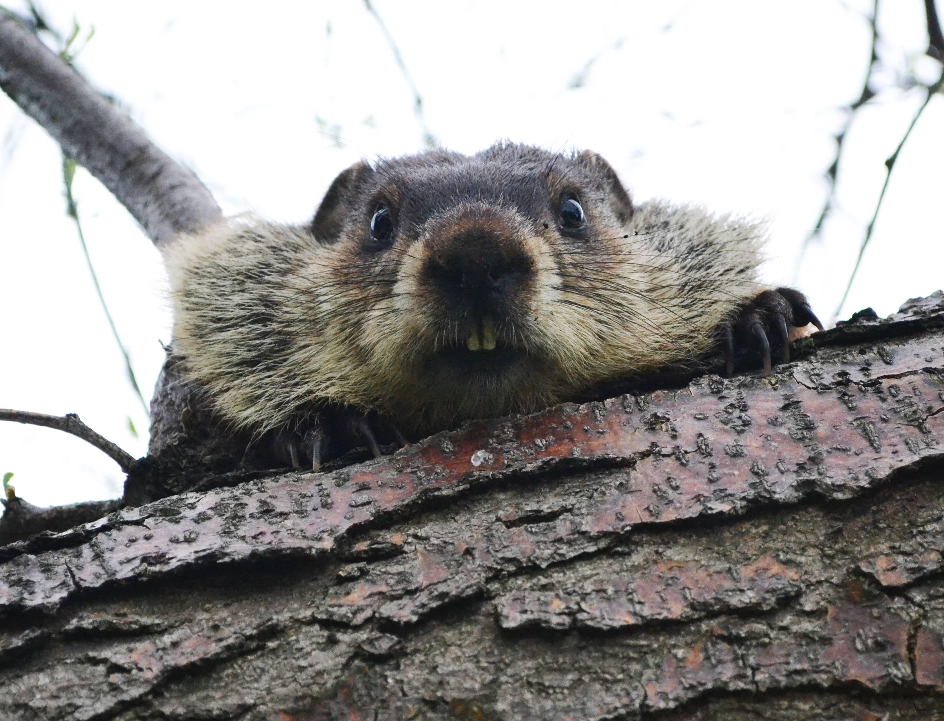 Funny-Beaver-5