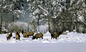 Heard of Elk in the snow