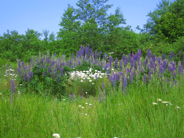 lupines & daisies in middle meadow