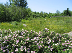 pink rugosas in June