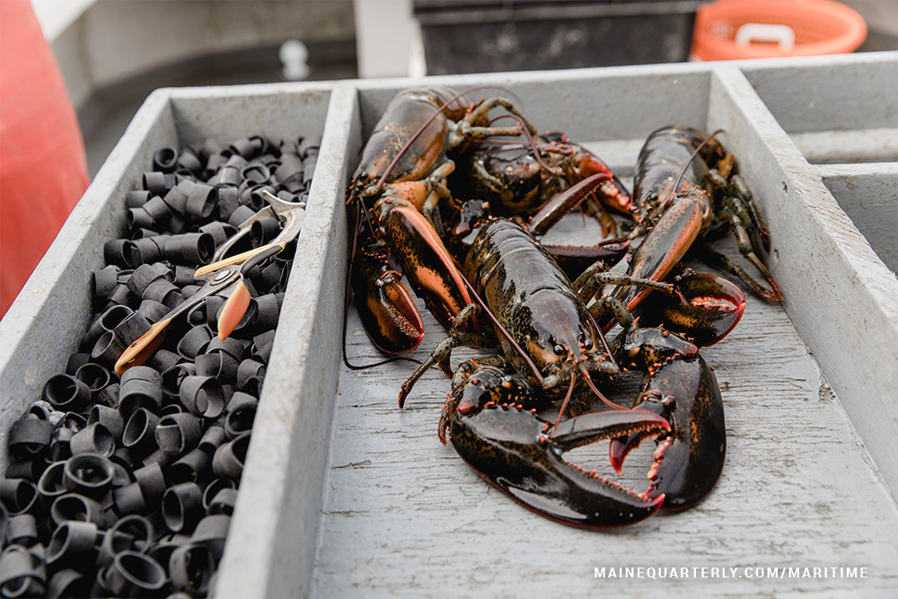 lobsters waiting to be banded on lobster boat