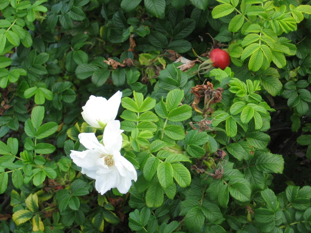 white rugosa blossom and rose hip