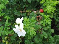 white rugosa blossom and rose hip