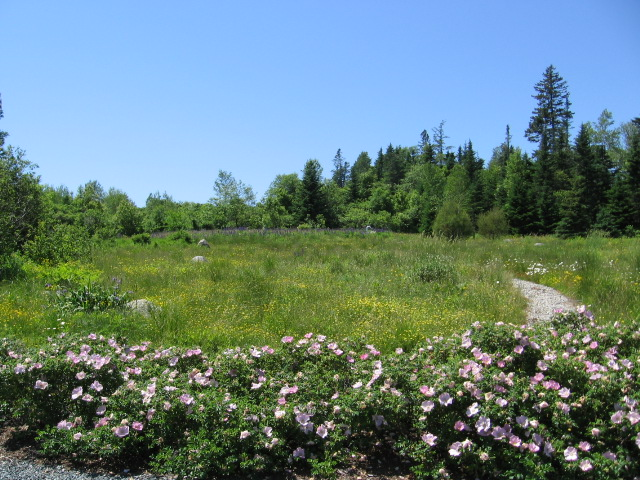 middle meadow in June