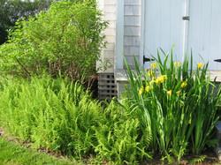 yellow iris and ferns