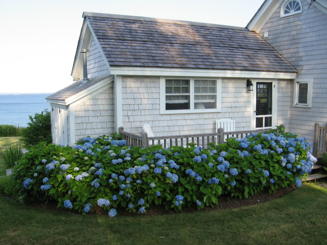 """Endless Summer"" hydrangeas"