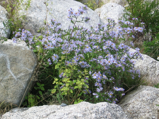 wild asters on shore bluff