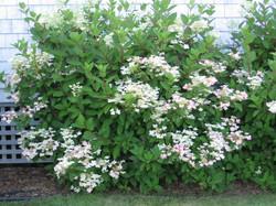pinky-winky hydrangea